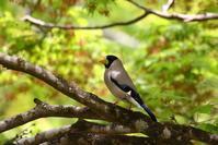 新緑の中で、、 - ぶらり探鳥