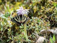 ショウジョウバカマで吸蜜するギフチョウ - 蝶鳥写楽