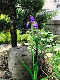 一輪のアヤメ - 自然を見つめて自分と向き合う心の花