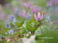 カタクリの花 - 続・こもれびの森