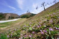 日影ゲレンデのカタクリ開花中 - 野沢温泉とその周辺いろいろ2