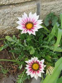 春の庭先に咲く花々 - 活花生活(2)
