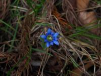 フデリンドウ - 飛騨山脈の自然