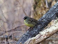 繁殖期を迎える前のアオジ - コーヒー党の野鳥と自然パート3