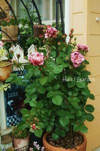 絞り咲きもカップ咲きもヒラヒラさんも~♪ - ハイジの玄関先ガーデン エピソード2♪