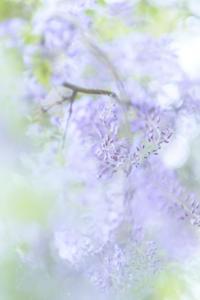 藤の花 - Capu-photo Digital photographic Laboratory