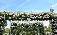 「横浜ローズウィーク」が開催されました! - バラとハーブのある暮らし Salon de Roses