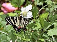 のいちごで吸蜜するギフチョウ - 蝶鳥写楽