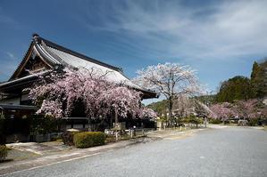 2021桜巡り 紅枝垂れ@妙満寺 - デジタルな鍛冶屋の写真歩記