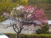 紅白の八重梅の花 - 日頃の思いと生理学・病理学的考察