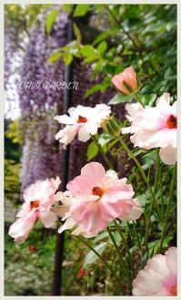 もみ撒きと、次々咲く咲くお花とスノー・グースの蕾 - どんぐりの木の下で……
