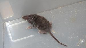 ん?ネズミ・・・だよね。 - 林の中のゾウムシのように