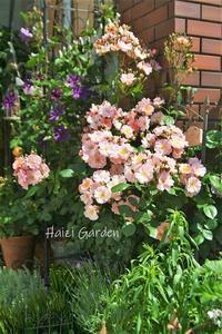 HG的「徳永」が歌い始めました♪♪♪ - ハイジの玄関先ガーデン エピソード2♪