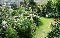 続バラの開花⑦バラが最も輝く時 - バラとハーブのある暮らし Salon de Roses