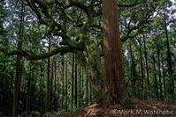 上久木野神社-巨樹 - Mark.M.Watanabeの熊本撮影紀行