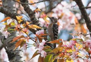 桜の花に誘われて♪ - ケンケン&ミントの鳥撮りLifeⅡ