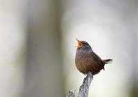 ミソサザイ~歌う歌う♪~ - 小鳥の瞳に恋してる