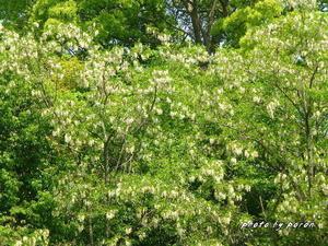 マメ科の樹木と野草 - デジカメ散歩悠々