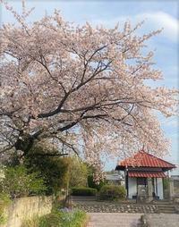 ①.春の日本滞在記(桜と日本入国情報4/2021) - NY発ブルースカイ星ゆき日記-2