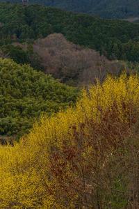 サンシュユの咲く丘(桜井市山田) - 花景色-K.W.C. PhotoBlog