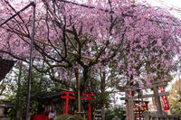 2021桜咲く京都 水火天満宮のしだれ桜 - 花景色-K.W.C. PhotoBlog