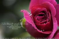 薔薇はキリッとね。SIGMA 70mm F2.8 DG MACRO | Art  #写真#薔薇#SIGMA #Sigmalens 作例 - さいとうおりのお気に入りはカメラで。