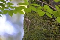 キバシリ(野鳥)など - はっぴいでいず