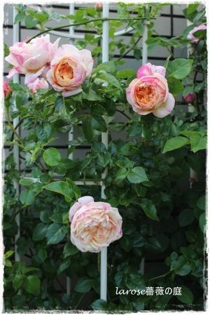 La rose 薔薇の庭
