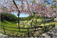 花公園の藤の花-2 - 野鳥の素顔 <野鳥と日々の出来事>