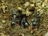 トビイロシワアリ? (鳶色皺蟻、Tetramorium tsushimae) - 写ればおっけー。コンデジで虫写真