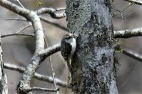お山の鳥❷ - そらと林と鳥
