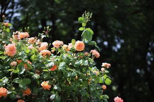 与野公園のバラ2021 - 猫の部屋