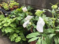 綿帽子 - リリ子の一坪ガーデン