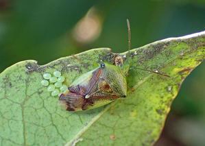 アオモンツノカメムシの大繁殖 - 公園昆虫記