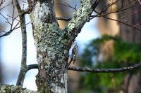 キバシリ - ごっちの鳥日記