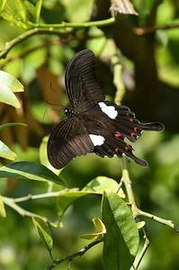 モンキアゲハ・・・今季初 - 続・蝶と自然の物語