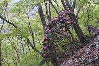 新緑に咲くシャクナゲとアケボノツツジ中奥川~千石山 - 峰さんの山あるき
