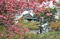 弘前公園桜_2021.05.05撮影 - 弘前感交劇場