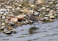 川原のクサシギ - 野鳥の素顔 <野鳥と日々の出来事>