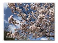 春の香りの食卓 - 雪割草 - Primula modesta -
