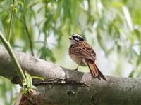 枝先のホオジロ - コーヒー党の野鳥と自然パート3