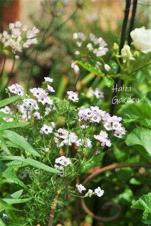 夏の花エキナセアがスクスク↑ - ハイジの玄関先ガーデン エピソード2♪
