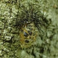 トホシテントウの抜け殻Epilachna admirabilis - 写ればおっけー。コンデジで虫写真