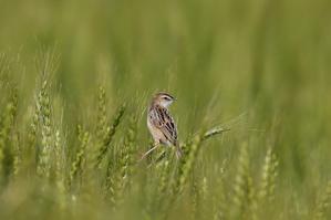 麦畑のセッカ - T/Hの野鳥写真-Ⅳ