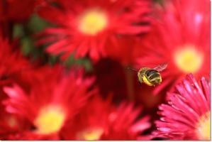 真っ赤な日照り草 - ハチミツの海を渡る風の音
