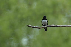 オオルリ - 鳥ありて 日々