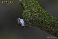 キバシリ(2) - 奥武蔵の自然
