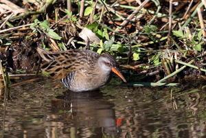 MFの沼にてクイナのポイントへ - 私の鳥撮り散歩