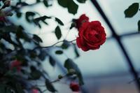 Red Rose - IL EST TROP TARD 時は過ぎゆく ... 2