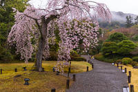 2021桜咲く京都 雨の知恩院・友禅苑にて - 花景色-K.W.C. PhotoBlog